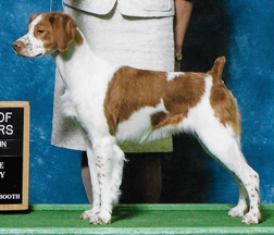 CH. Sovereign's Mustang Sally JH | Hunting Brittany