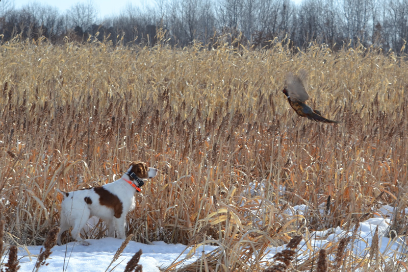 On Point with Pheasant.
